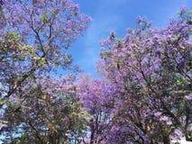 兰花楹属植物树 库存图片