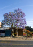 兰花楹属植物紫色结构树 库存图片