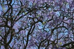 兰花楹属植物紫色结构树 库存照片