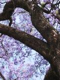兰花楹属植物结构树 免版税库存照片