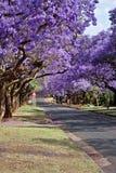 兰花楹属植物结构树 图库摄影