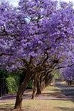 兰花楹属植物结构树 免版税库存图片