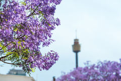 兰花楹属植物花关闭与在后面的被弄脏的悉尼塔 免版税图库摄影