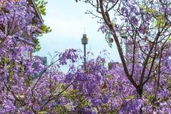 兰花楹属植物花关闭与在后面的被弄脏的悉尼塔 免版税库存图片