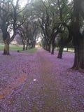 兰花楹属植物花地毯 库存图片