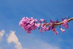 兰花楹属植物花 库存照片