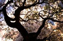 兰花楹属植物 库存图片
