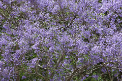 兰花楹属植物 图库摄影