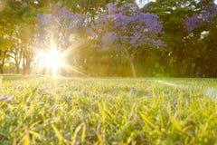 兰花楹属植物mimosifolia在日出的树花 免版税库存图片