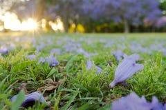 兰花楹属植物mimosifolia在草的树花 库存照片