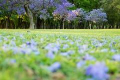 兰花楹属植物mimosifolia树花 免版税库存图片