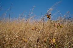 兰花特写镜头在金黄草地的在马兰热省,安哥拉 免版税库存照片
