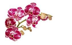兰花的枝杈 库存图片