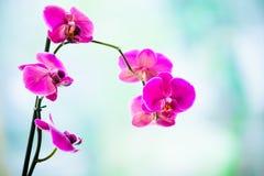 兰花粉红色 库存图片