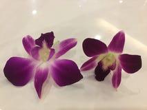 兰花精华- 2朵花有白色背景 免版税图库摄影
