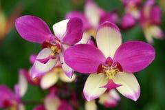 兰花紫色数据条白色 免版税库存照片
