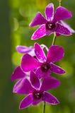 兰花紫色紫罗兰 免版税库存照片