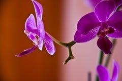 兰花紫色 免版税库存照片