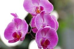 兰花紫色 库存图片