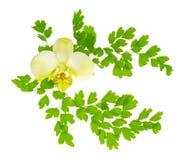 兰花花和横渡的年轻绿色蕨分支被隔绝 库存图片