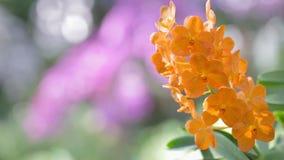 兰花花在兰花庭院里 万代兰属兰花