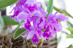 兰花花在庭院里在冬天或春日 库存图片
