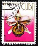 兰花花Cattleya Hardyana,大约1986年 免版税库存照片
