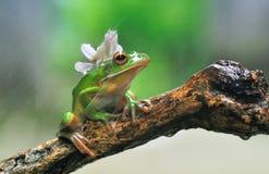 兰花螳螂和青蛙,红色眼睛青蛙,矮胖,螳螂兰花 免版税图库摄影