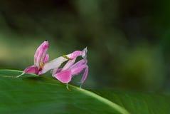 兰花螳螂,作为动物背景的桃红色蚂蚱 免版税图库摄影