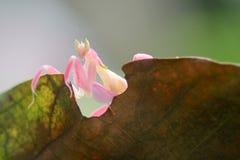 兰花螳螂,动物,宏指令, bokeh,昆虫,自然, 免版税库存照片