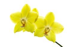 兰花黄色 库存图片