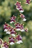 兰花,其中一个最大的植物的家庭 免版税库存图片