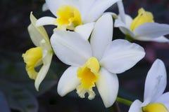 兰花,其中一个的种类最大的植物的家庭 库存照片