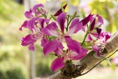 兰花,紫色兰花,蝴蝶树,紫色紫荆花,香港兰花,花 免版税库存图片