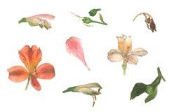 兰花水彩植物的花  免版税库存图片