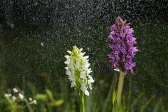 兰花绽放在倾吐的雨中喜欢降雪 开花和水下落喜欢雪 紫色和白色瓣开花的flowerr 免版税图库摄影