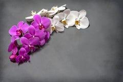 兰花 白色和桃红色兰花分支在灰色背景的 开花 花束 免版税库存图片