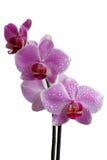 兰花-粉红色。(查出)。 免版税图库摄影
