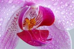 兰花-粉红色。(片段。)。 免版税库存照片