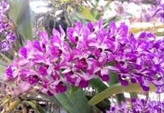 兰花紫色白色 免版税库存图片