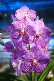 兰花紫色vanda 库存图片