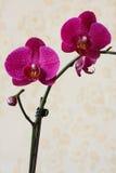 兰花-黑暗的粉红色。 免版税库存照片