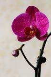 兰花-黑暗的粉红色。 库存图片