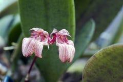 兰花Bulbophyllum roxburghii 免版税库存照片