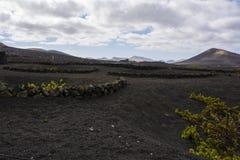 兰萨罗特岛的独特的葡萄园 库存图片