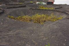 兰萨罗特岛的独特的葡萄园 免版税图库摄影