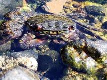 兰萨罗特岛螃蟹  免版税图库摄影