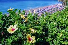 兰萨罗特岛,金丝雀ISLANDS/SPAIN - 7月30日:黄色木槿在L 图库摄影