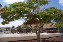 兰萨罗特岛wyspy kanaryjskie drzewo kwitnÄ…铈 免版税库存图片