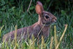 共同兔子坐殷勤在草 免版税库存图片